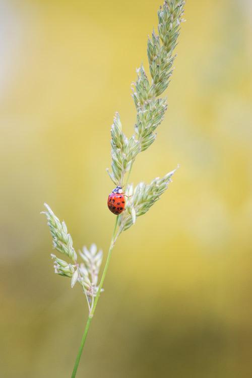 ladybug-lieveheersbeestje-coccinelle-macro