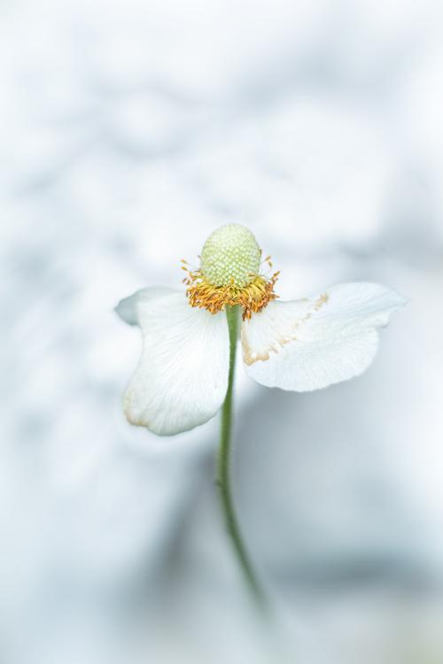 anemoon-wit-helios-bloem