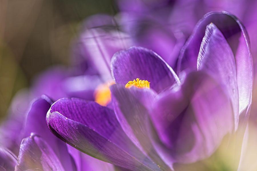 krokus-crocus-paars-voorjaar