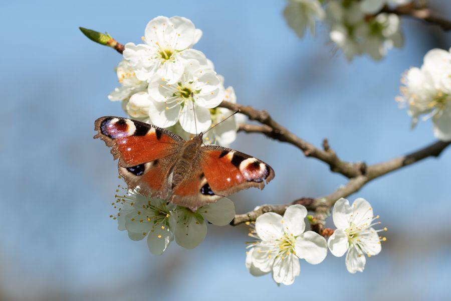dagpauwoog-vlinder-voorjaar