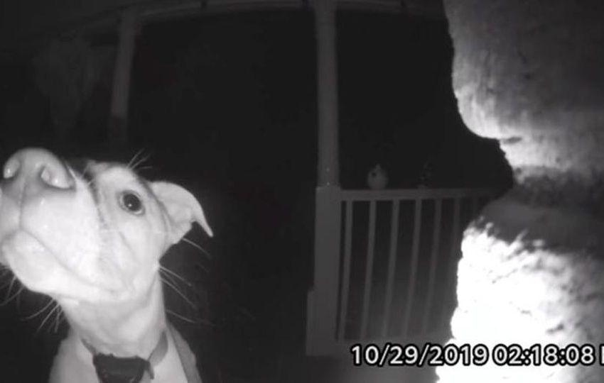 Il labrador bussa al citofono perché i cani sono fatti come noi, anche nel cervello