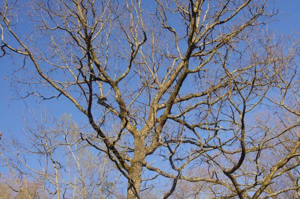 24 oak tree