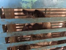 Luwak (or civet) in Dalat, Vietnam