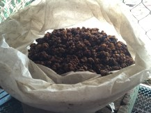 Luwak coffee poop in Dalat, Vietnam