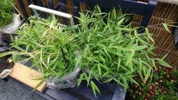 de bamboe plantJES