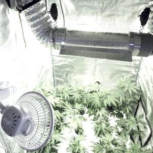Marijuana an ecological loser