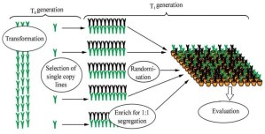 Use Cannabis Genetics to Backcross Recessive Traits