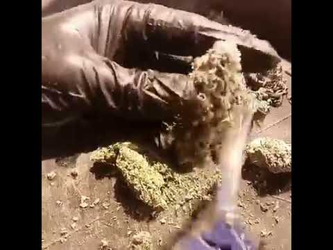 Lots of Love Trimming and Cultivation Services Trimming Video #8 - Marijuana & Business