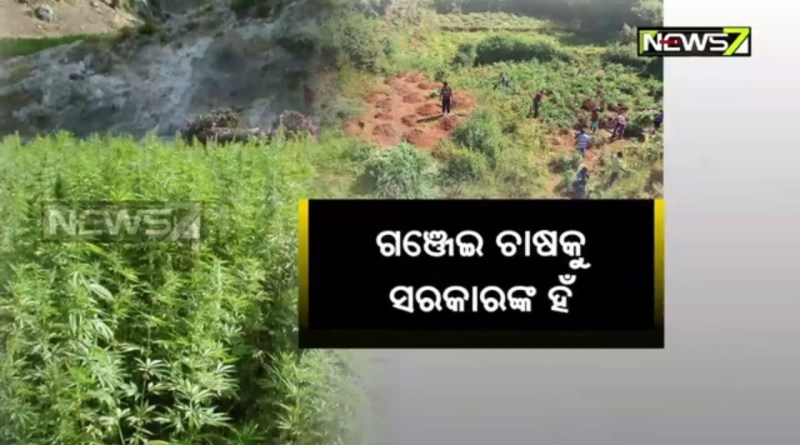 Odisha Govt Begins Process To Legalize Farming Of Ganja(Marijuana)