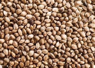 Hemp seeds can make a better livestock feed