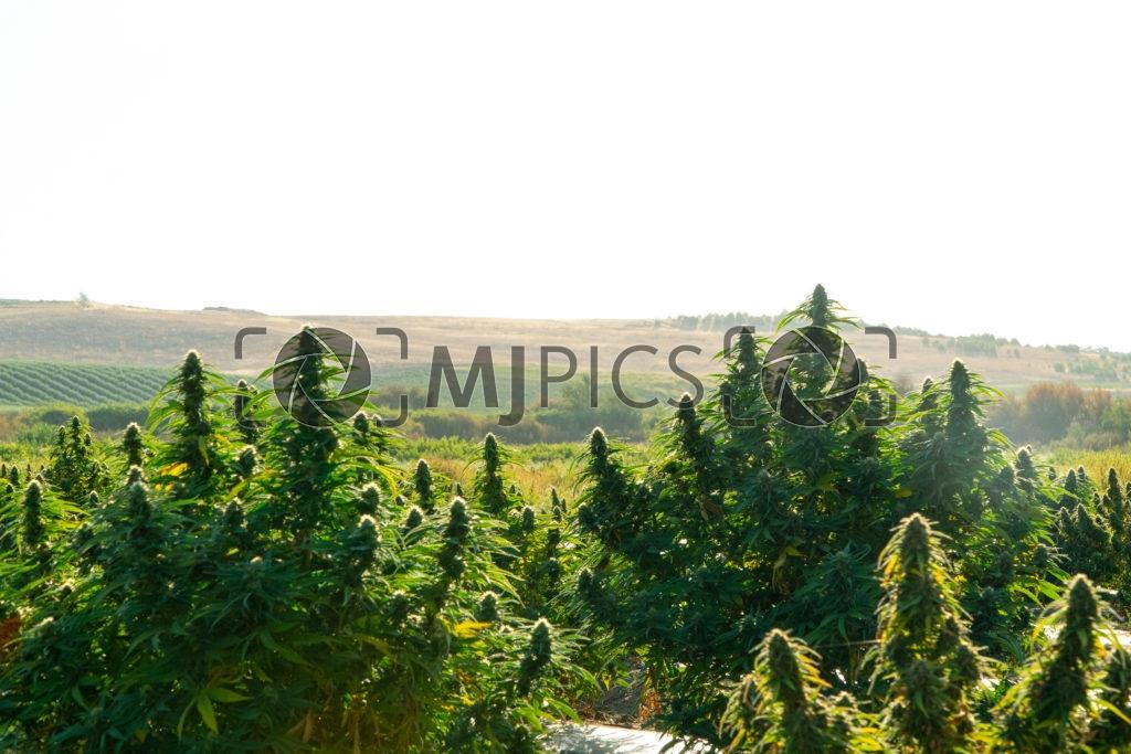 Campo CBD 10000559 download