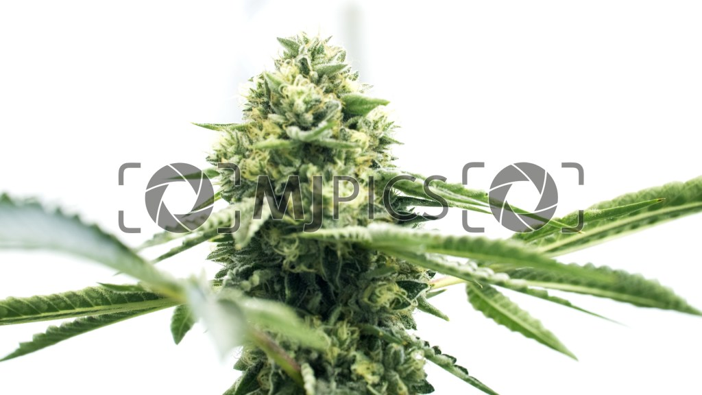 Harlequin x Bubba Kush Regular 10000811 download
