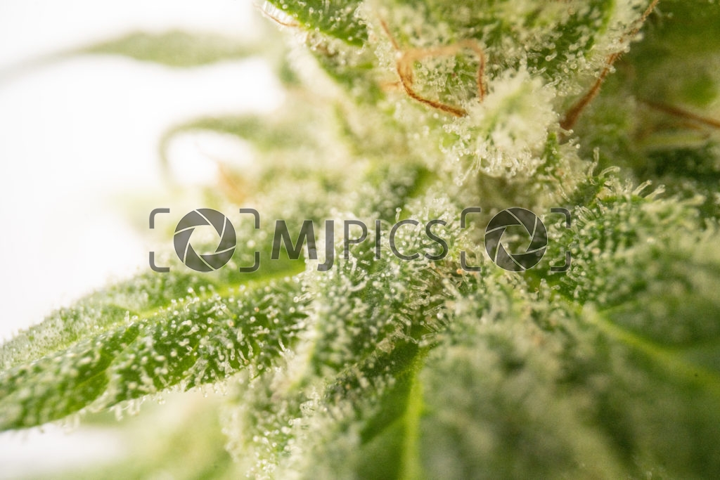 Strawberry Cough 10001032 download