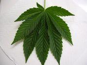 Indica Leaf marijuana Leaf