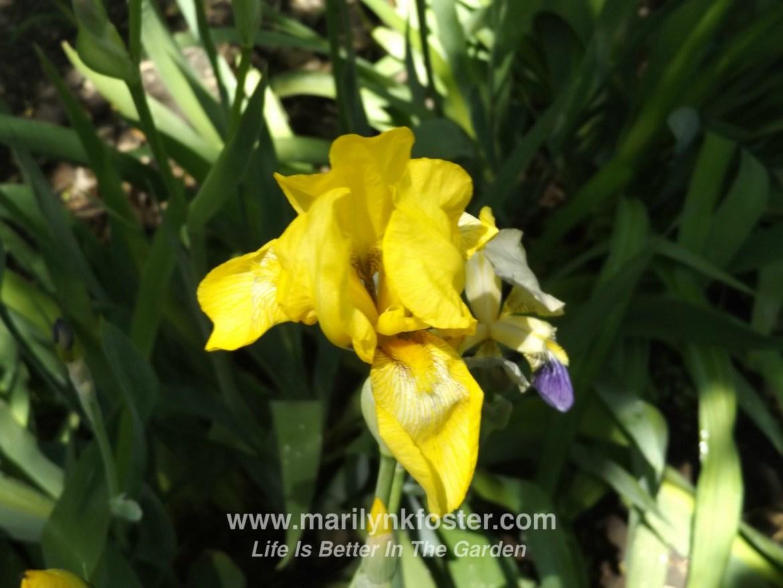 yellowiris5
