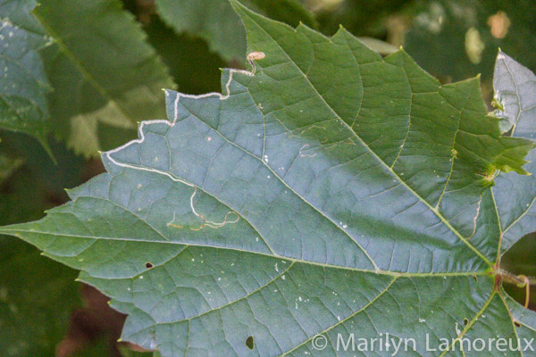 Insect tracks in grape leaf