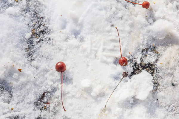 Last year's crab apples fell onto the snow