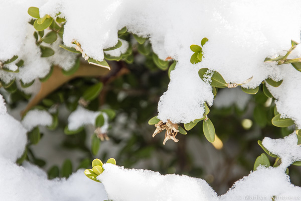 Snow covers green leaves of a bush