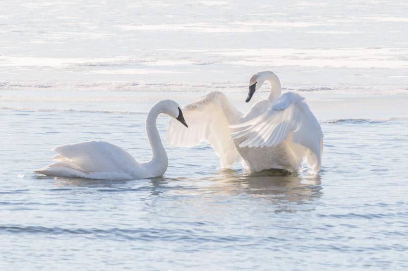 Trumpeter Swan Redux