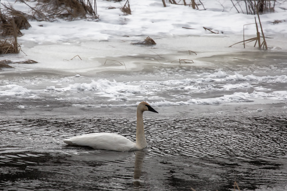 Trumpeter Swans and Blowing Snow