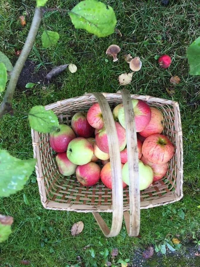 Vi plukker æbler