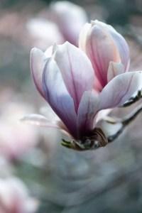 Min magnolia blomstre