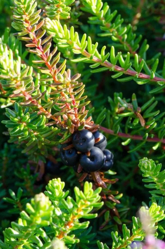 Sorte rævlingebær