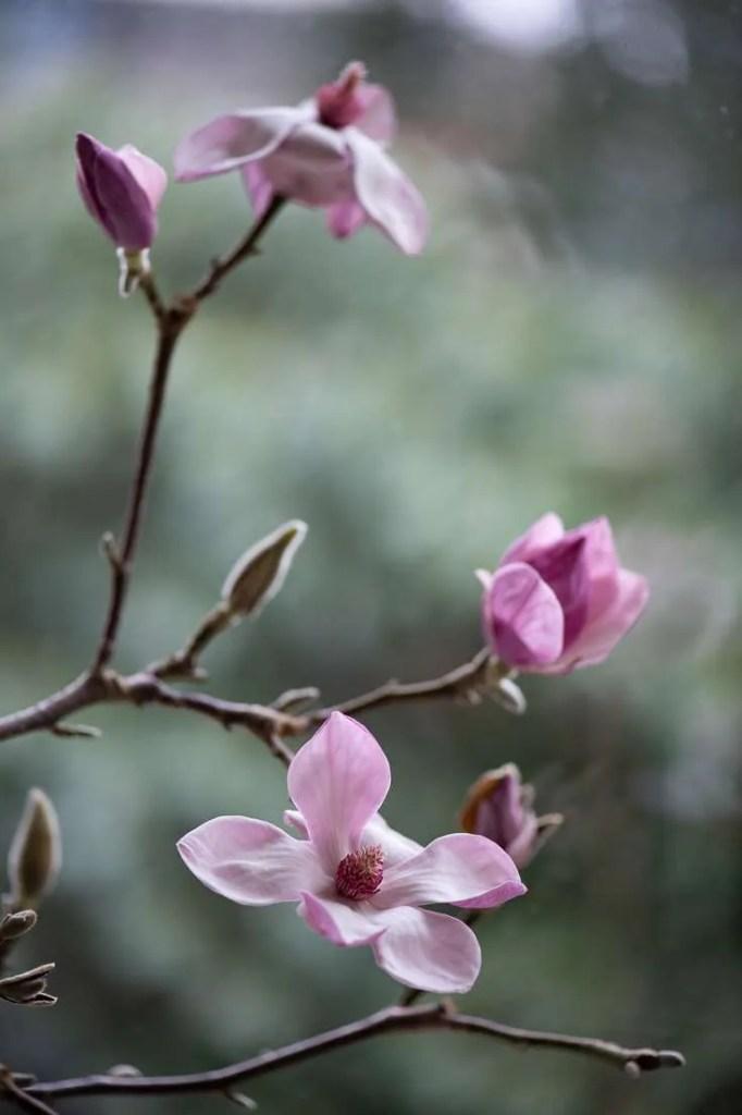 Magnoliablomster på de grene jeg driver