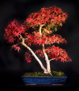 Acer palmatum