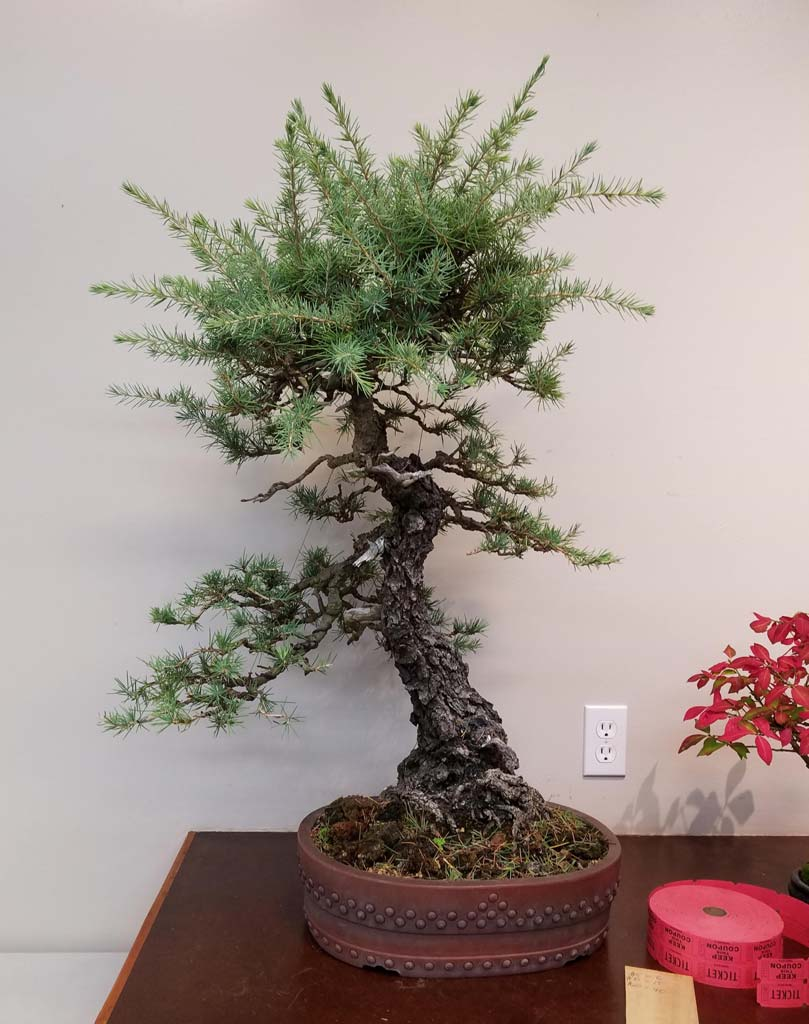 Marin Bonsai Club Wiring Demo Before