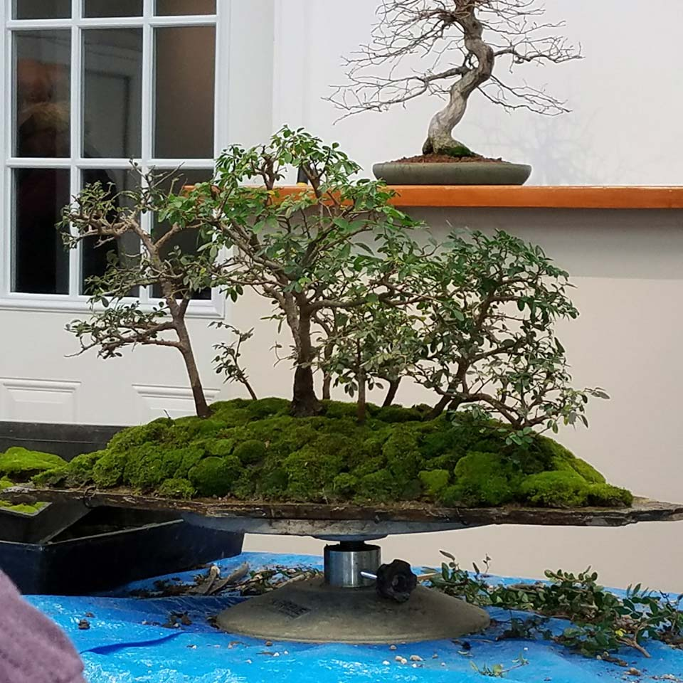 January 2018 Randall Lee Marin Bonsai Club Wiring Demo After Depotting And Root Pruning Seven Of The Elms Attaching Them To Slab Over A Little Soil With Wires Added Rest