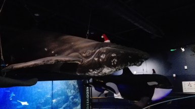 All the whales in the aquarium were already in a Christmassy mood