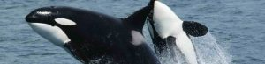 Double the distance? Steer clear from orcas.