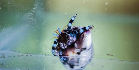 The Blue Leg Hermit Crabs (Calcinus elegans)