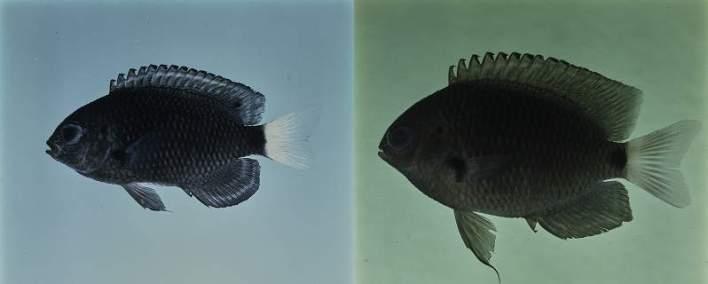 Pomacentrus-trichrourus