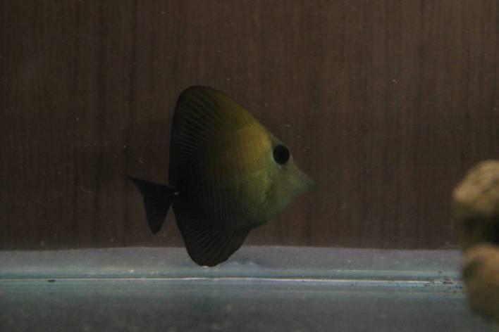 Scopas Tang (Zebrasoma scopas)-1