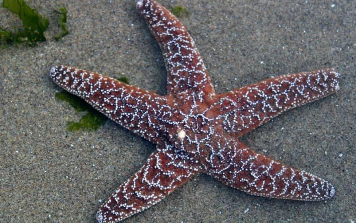 Starfish-Haystack-Rock
