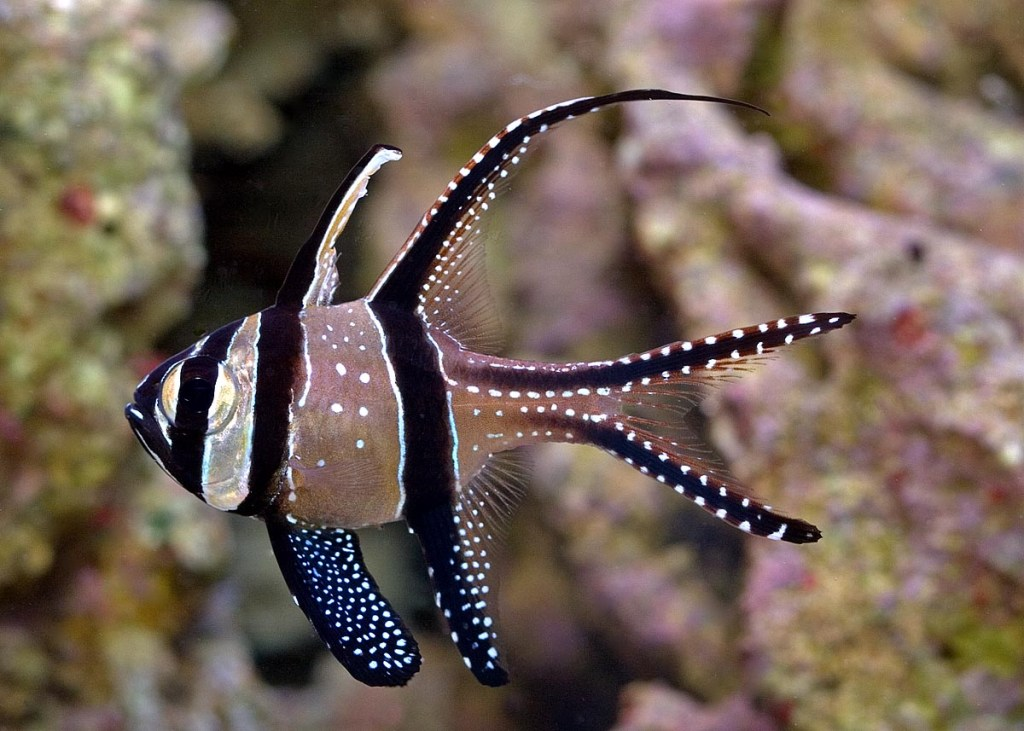 Banggai cardinalfish, Marine Aquarium Fish