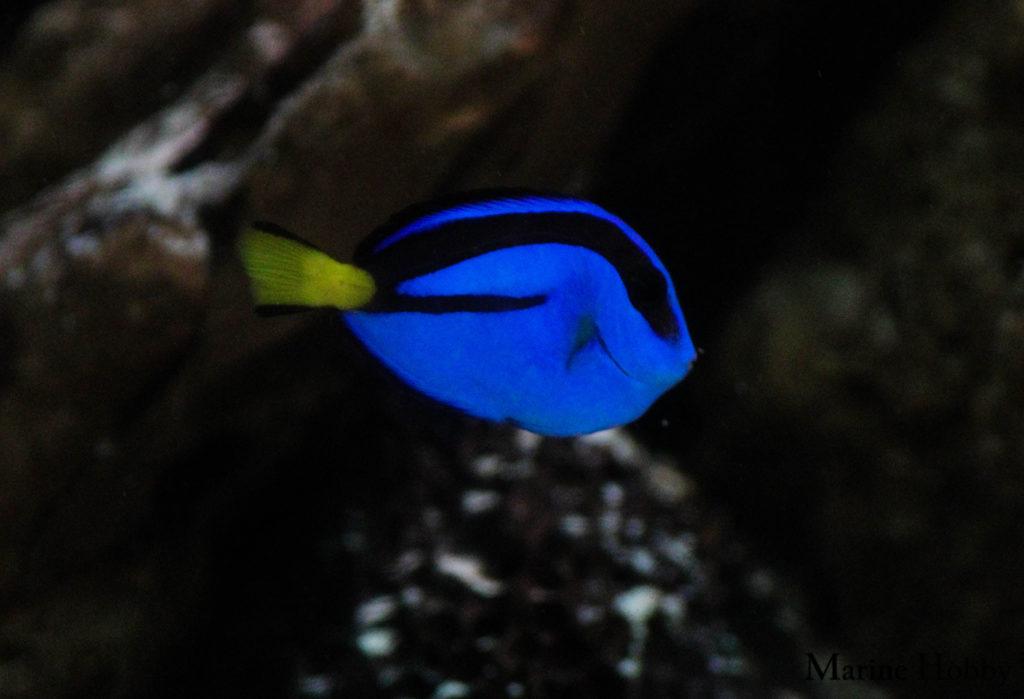 Blue Tang-3
