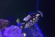 Photo of Clown Triggerfish My Experience Hand-on