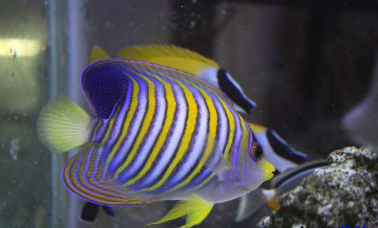 Regal Angelfish_Pygoplitesdiacanthus_Marine Aquarium