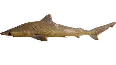 Photo of Carcharhinus obsolerus, A new species of whaler shark from Western Central Pacific