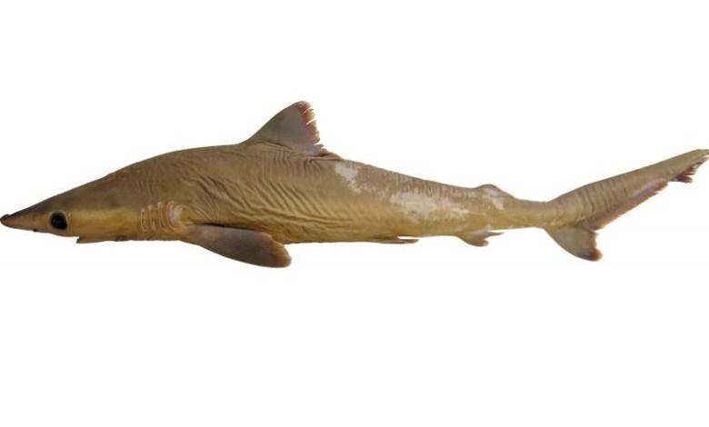 Carcharhinus obsolerus