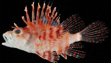 Photo of Dendrochirus koyo, A new dwarf lionfish from Japan
