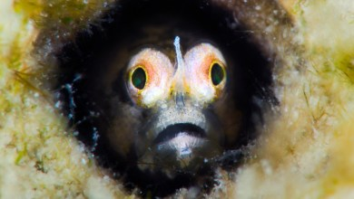 Photo of Cerogobius petrophilus, A new goby from the Red Sea