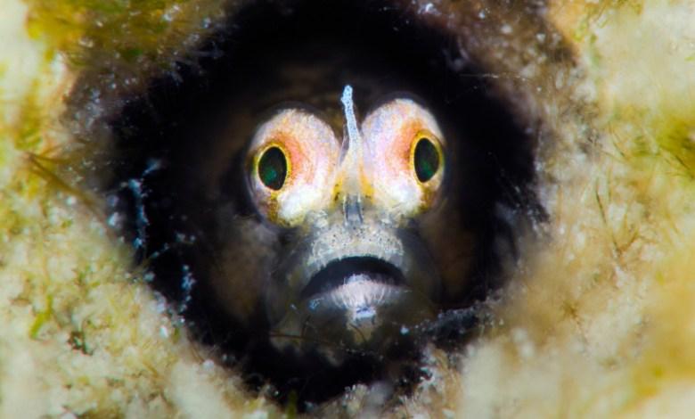 Cerogobius petrophilus