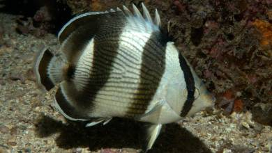 Photo of Banded butterflyfish (Chaetodon striatus) Successful Aquaculture