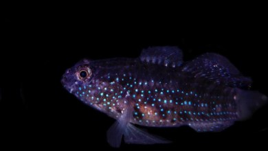 Photo of Starry Goby Successfully Bred by Biota Aquariums