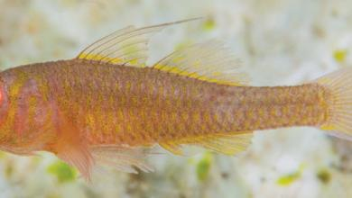 Photo of Trimma wangunui, A New species of Goby from the Western Pacific Ocean