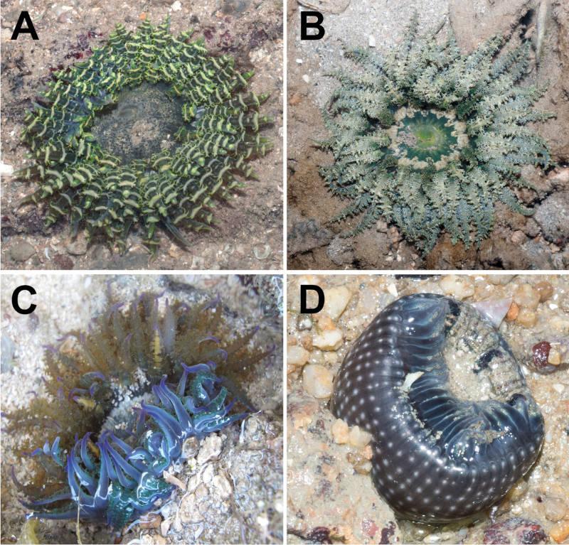 Phymanthus pinnulatus Sunburst Sea Anemone
